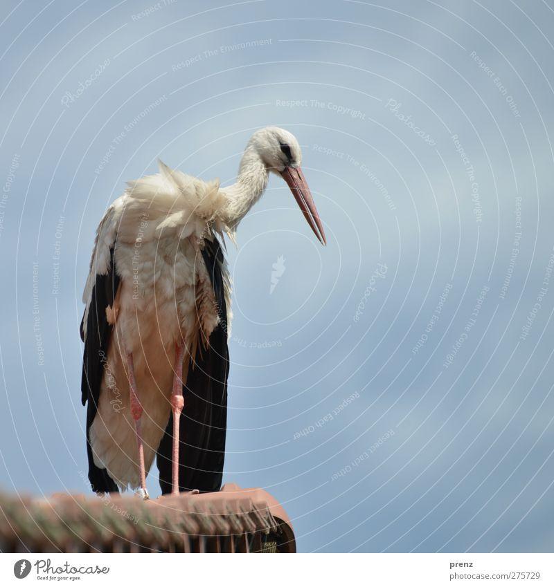 Storchi Umwelt Natur Tier Schönes Wetter Wildtier Vogel 1 blau weiß Weißstorch Dach Himmel Storchendorf Linum Farbfoto Außenaufnahme Menschenleer