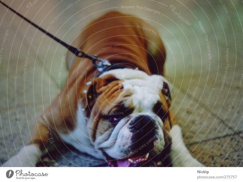englische Bulldogge liegt auf Fliesenboden Fliesen u. Kacheln Tier Hund braun weiß Coolness loyal Langeweile Müdigkeit Erschöpfung bequem Gelassenheit Unlust