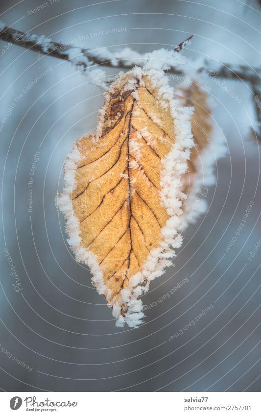 eingerahmt Natur Pflanze Wasser Herbst Winter Eis Frost Blatt Buchenblatt Zweige u. Äste Blattadern Raureif kalt Symmetrie Wandel & Veränderung gefroren
