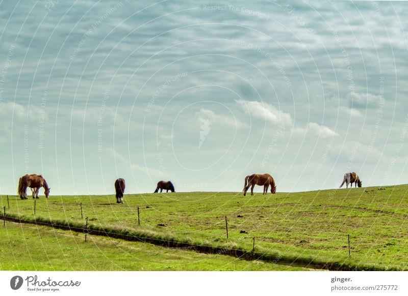 Hiddensee | Pferde am Horizont, eins heißt vielleicht Drama Himmel grün Tier Wolken Wiese Zusammensein mehrere Tiergruppe Idylle Weide Zaun Teilung Fressen