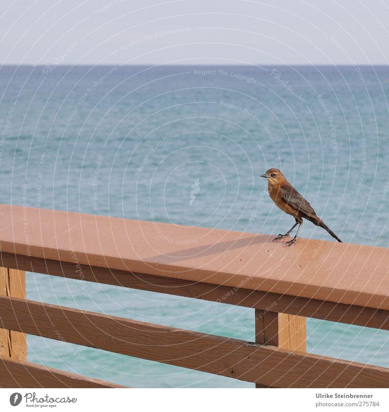 Was will ich Meerblick? Ferien & Urlaub & Reisen Tourismus Freiheit Tier Wildtier Vogel Spottdrossel Drossel 1 beobachten stehen warten frech frei Fröhlichkeit