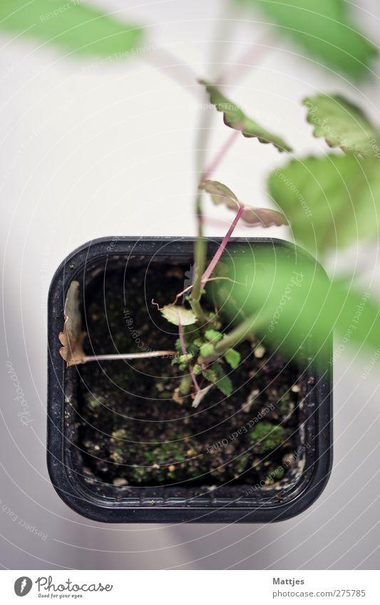 Töpfchen Natur grün Sommer Pflanze Blatt Erholung Frühling Garten Gesundheit Erde frisch Kräuter & Gewürze Tee lecker Teepflanze nachhaltig
