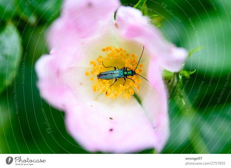 Käfers Sonntagsfrühstück   Tischlein deck dich Natur Pflanze Tier Sommer Rose Blüte Wildpflanze Hagebutten Wildtier 1 Blühend Duft Fressen klein grün rosa schön