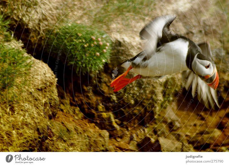 Island Natur Umwelt Bewegung Vogel Erde fliegen Wildtier natürlich niedlich Papageitaucher