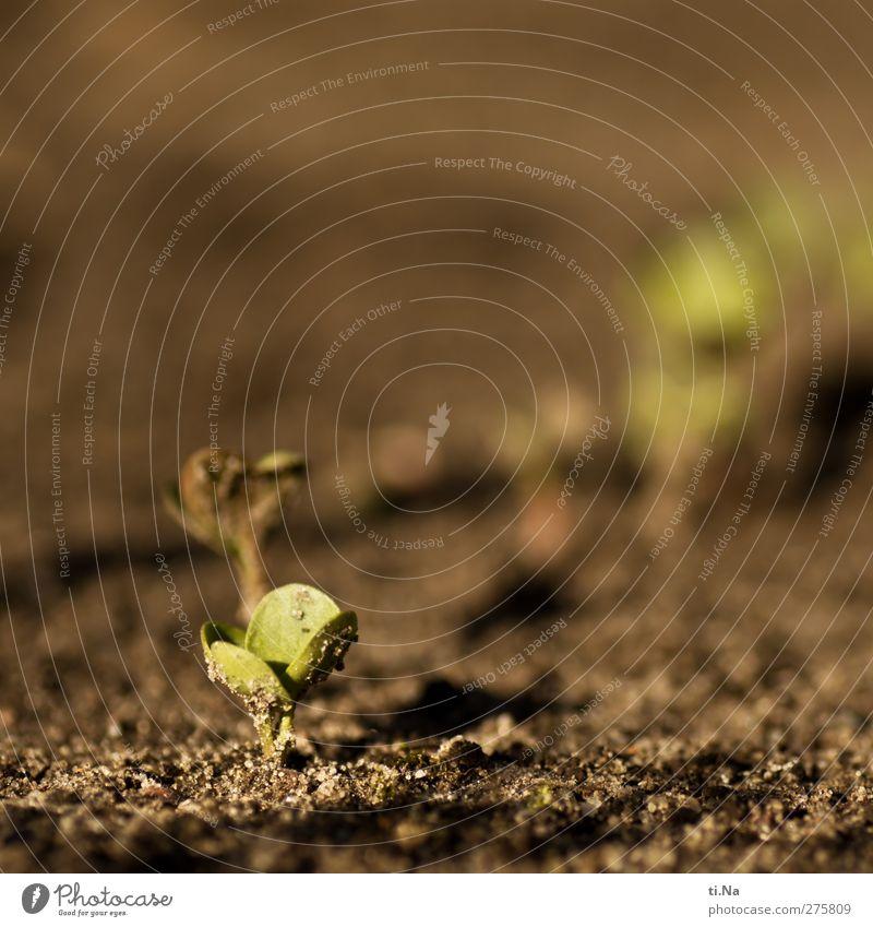 Opfergaben Pflanze Erde Sand Sommer Schönes Wetter Blatt Nutzpflanze Radieschen Feld Wachstum frisch Gesundheit klein braun gelb grau grün Landwirtschaft