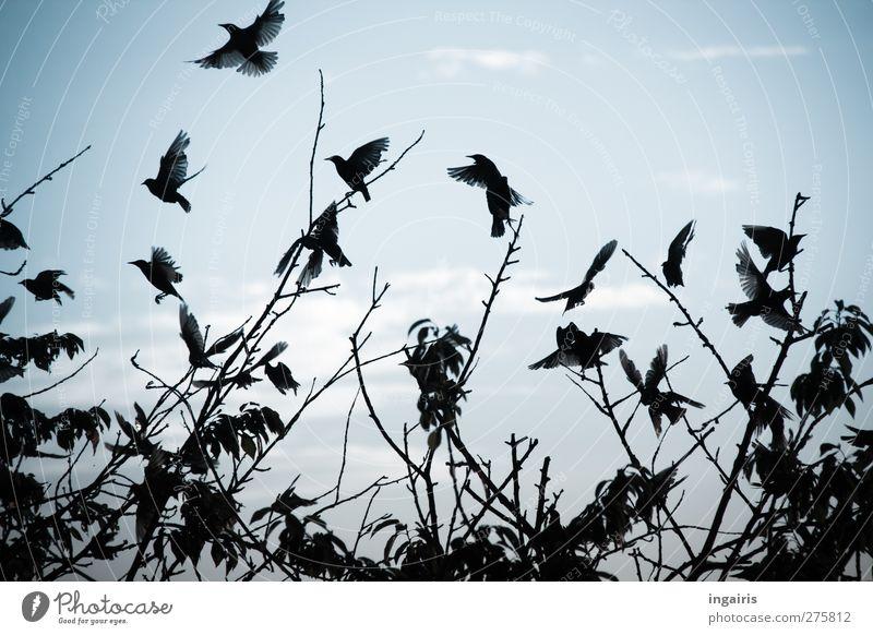 Aufgeschreckt Umwelt Natur Tier Luft Himmel Wolken Horizont Sommer Herbst Pflanze Baum Wildtier Vogel Flügel Star Vogelschwarm Schwarm Zeichen Bewegung fliegen
