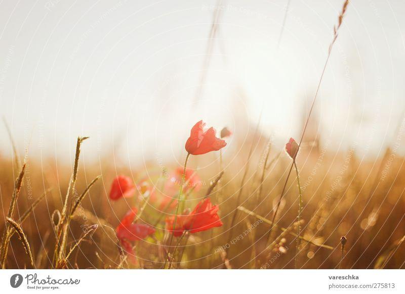 Im Kornfeld 1 Umwelt Natur Landschaft Pflanze Horizont Sonnenaufgang Sonnenuntergang Sommer Blume Gras Blüte Wildpflanze Mohnblüte Wiese Feld Menschenleer braun