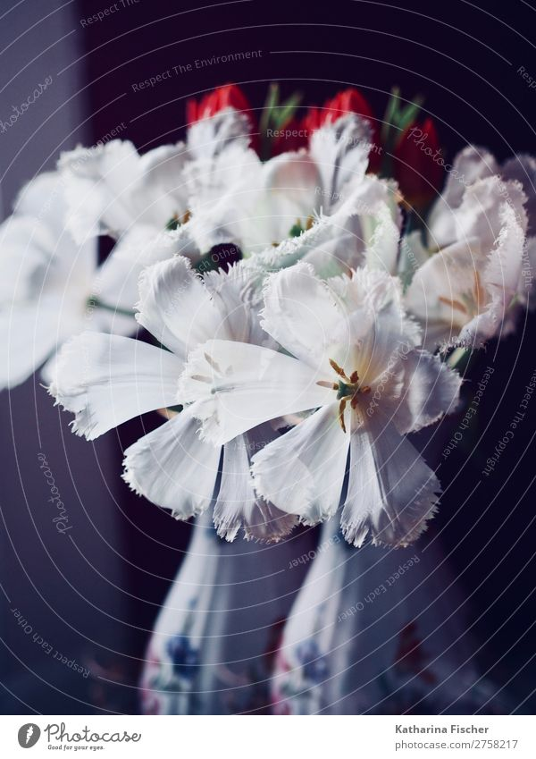 Doppelbelichtung weiße Tulpen rote Tulpen Tulpenstrauß mit Vase Pflanze Frühling Sommer Herbst Winter Blume Blatt Blüte Blumenstrauß Blühend leuchten Wachstum