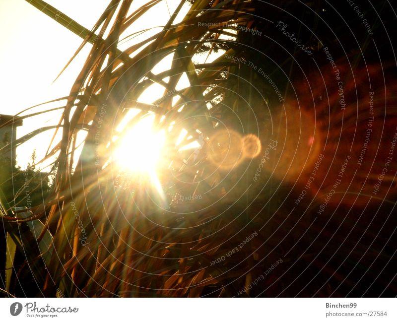 the sun is shining Beleuchtung Licht Sonnenuntergang grün Graß Schilff Abend