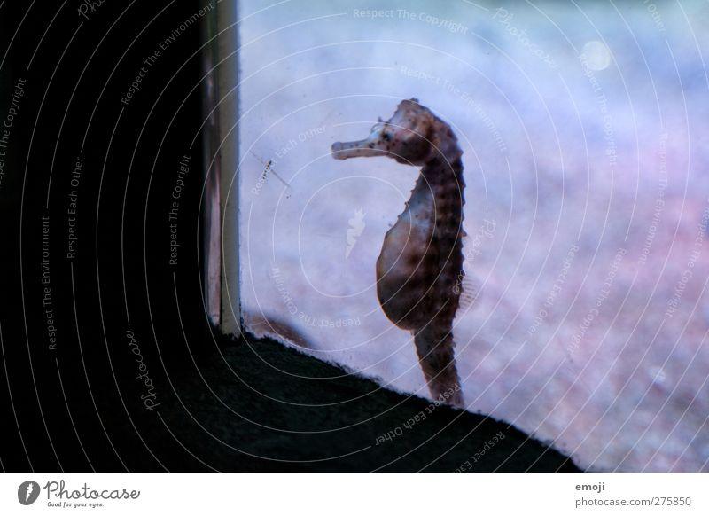 Platz am Fenster Wasser Tier Wildtier Zoo Aquarium Seepferdchen 1 außergewöhnlich gefangen Freiheitsstatue Farbfoto Innenaufnahme Menschenleer Kontrast