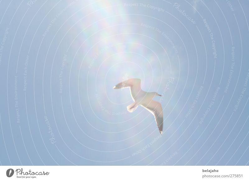 Möwe im Licht Ferien & Urlaub & Reisen Tourismus Freiheit Sommer Sommerurlaub Sonne Strand Meer Natur Luft Himmel Sonnenlicht Küste Nordsee Tier Vogel 1 fliegen