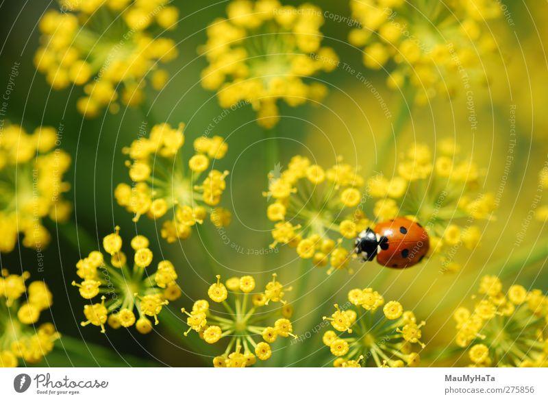 Marienkäfer Natur Pflanze Tier Wasser Wassertropfen Sonnenaufgang Sonnenuntergang Sonnenlicht Sommer Klima Schönes Wetter Blume Gras Blatt Blüte Garten Feld