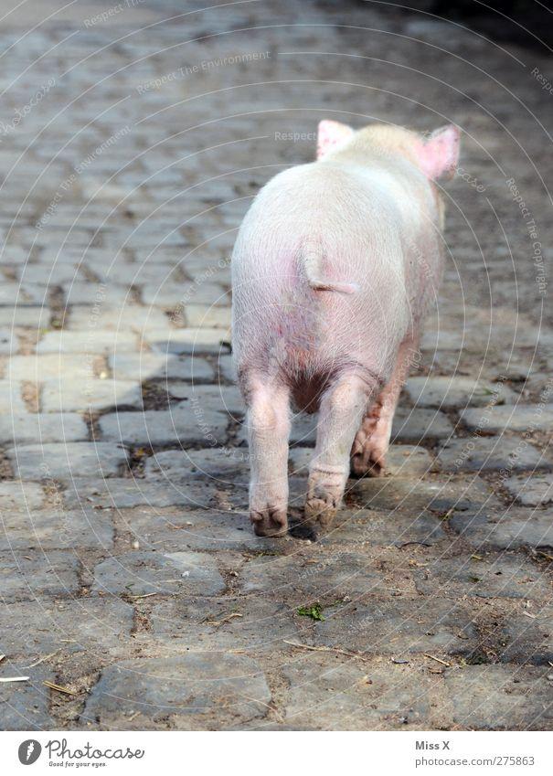 Goodbye II Tier Nutztier 1 Tierjunges klein niedlich rosa Schüchternheit Ferkel Schwein Bauernhof Tierhaltung Landwirtschaft Tierzucht Schwanz Farbfoto
