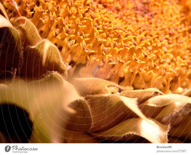 Herbst kommt Pflanze Blatt gelb Blüte Sonnenblume Samen