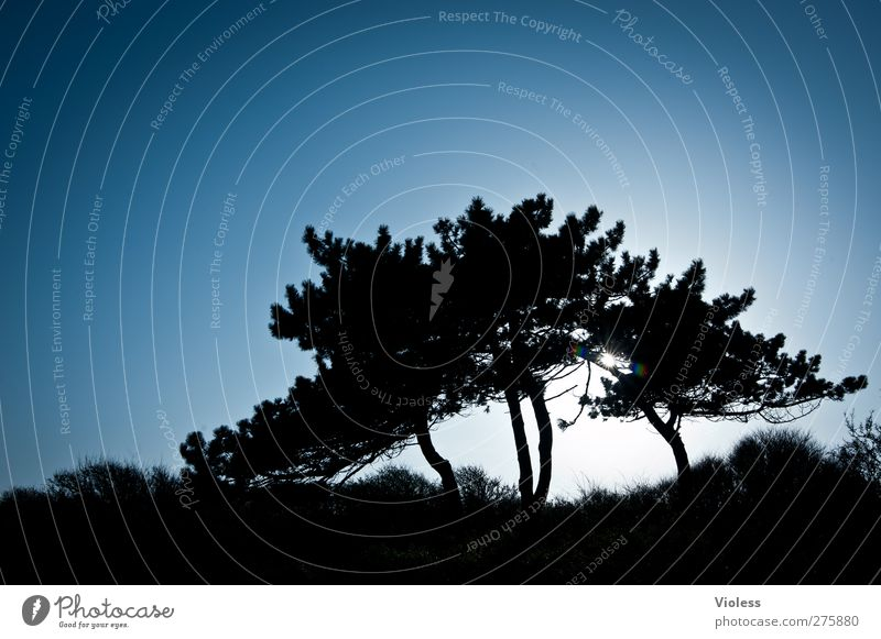 Hiddensee | ...another side Baum Pflanze träumen Zufriedenheit Kraft ästhetisch leuchten Kiefer Hiddensee