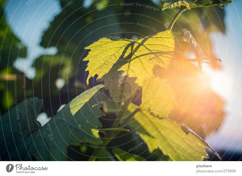 Wein Natur grün Sommer Pflanze Blatt Wärme Nutzpflanze