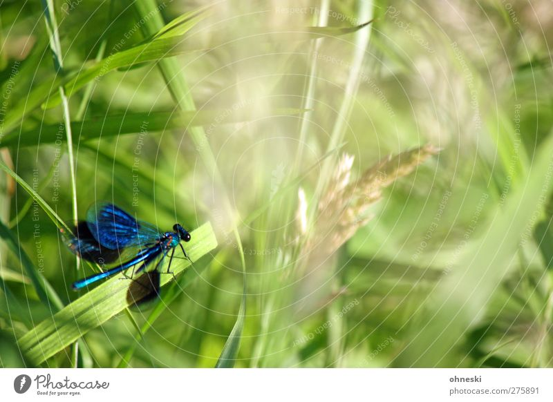 Abflug Tier Gras Wildtier Libelle Insekt Libellenflügel 1 fliegen warten elegant exotisch blau grün türkis Farbfoto mehrfarbig Außenaufnahme Textfreiraum rechts