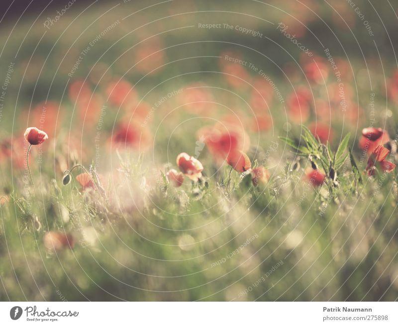 Sommer adé Natur grün schön Sommer rot Pflanze Sonne Landschaft Umwelt Gras Glück Blüte Freundschaft Gesundheit Zusammensein Feld