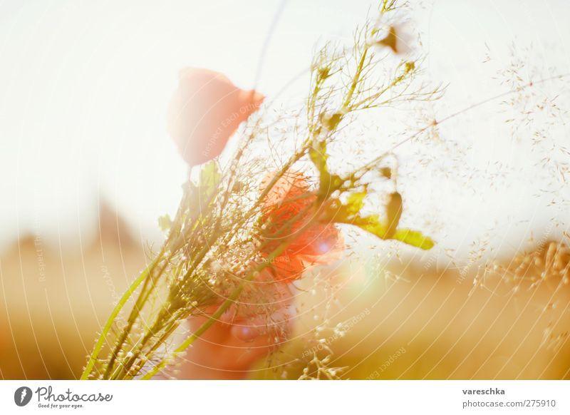 Im Kornfeld 2 Hand Umwelt Pflanze Blume Blüte Wildpflanze Blumenstrauß Mohn Mohnblüte Sommer Wiese Feld Wärme gelb gold Farbfoto mehrfarbig Außenaufnahme