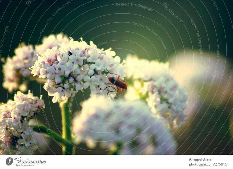::12-11:: Umwelt Natur Pflanze Sommer Klima Blume Blüte Grünpflanze Wildpflanze Garten Park Wiese Wald Tier Wildtier Lebensfreude Makroaufnahme Insekt Käfer