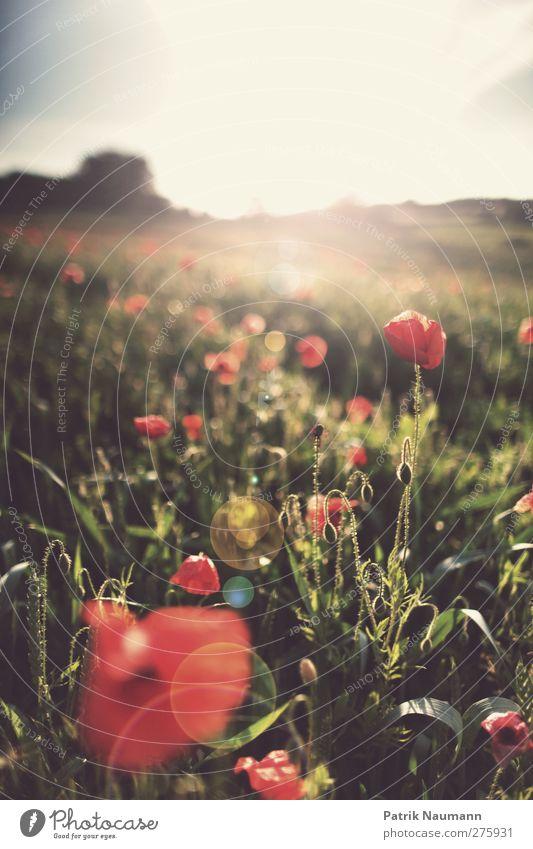 Mohnako Himmel Natur Pflanze schön Sommer Landschaft Wolken Umwelt Blüte Liebe Gras Design Feld Sträucher ästhetisch Beginn