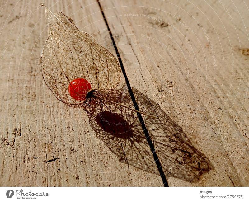 Lampionblume Natur alt nackt Pflanze schön rot Holz gelb orange braun Frucht gold elegant ästhetisch Idylle exotisch