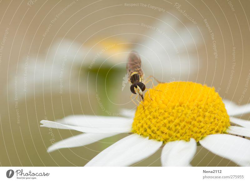 Mahlzeit Natur Sommer Pflanze Blume Tier gelb Wiese Feld Fliege Blühend Insekt Gänseblümchen Margerite füttern Pollen Wildpflanze