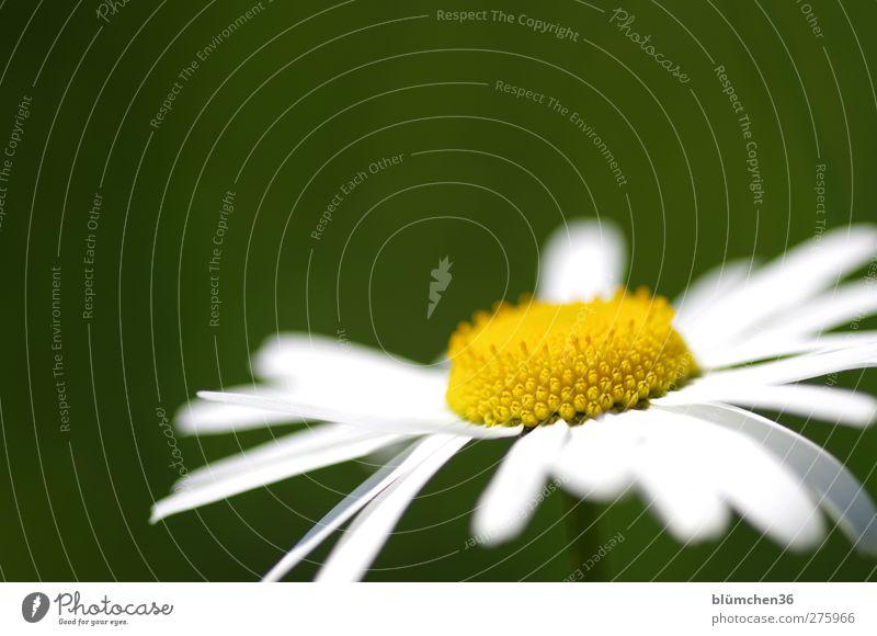Das Gelbe vom Ei Natur weiß grün schön Sommer Pflanze Blume Freude gelb Wiese Frühling Glück Blüte Wachstum frisch ästhetisch