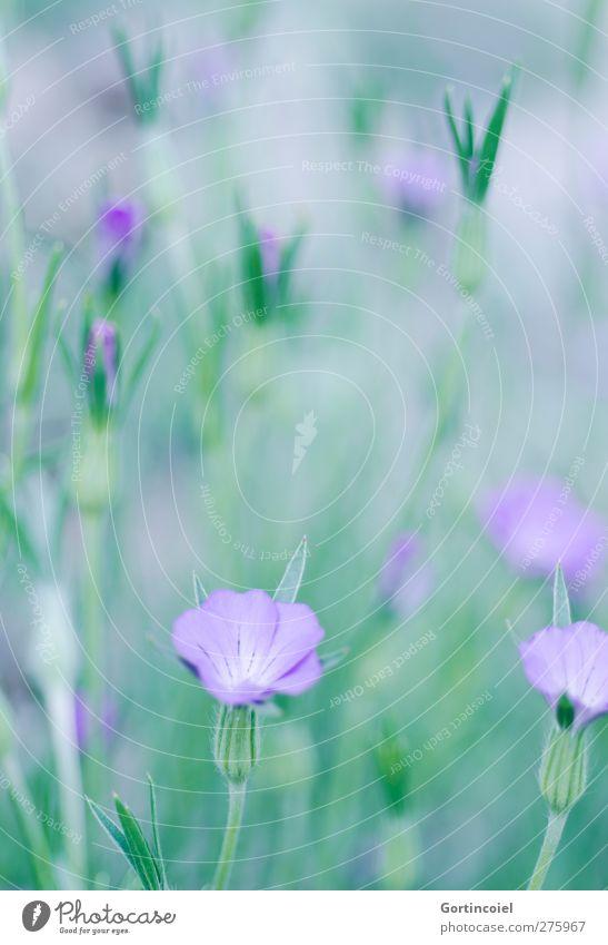 Blütenmeer Umwelt Natur Pflanze Frühling Sommer Blume schön grün violett Blütenkelch Blütenstiel Blütenblatt Farbfoto Außenaufnahme Textfreiraum oben