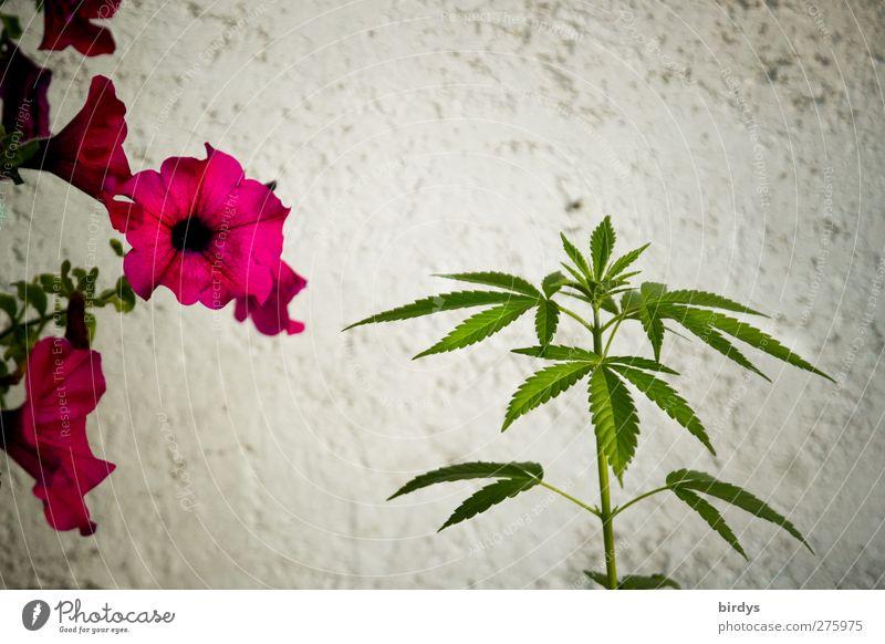 Nutzhanf Sommer Pflanze Blume Hanf Blüte Topfpflanze Mauer Wand Blühend Duft Wachstum ästhetisch schön grün rot weiß Industriehanf 2 Rauschmittel Cannabis