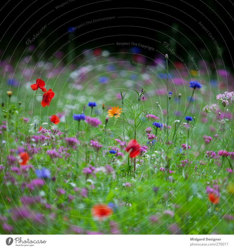 Seltenes Gelb Umwelt Natur Pflanze Frühling Sommer Blüte Kreativität Freude Wiese Wiesenblume rot blau grün Unschärfe Gras frisch Quadrat Erholung Farbfoto