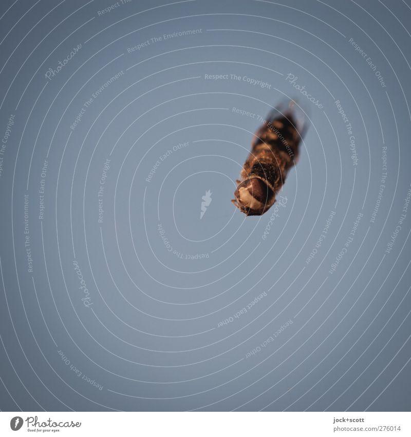 Kamikaze oder Opfer Wolkenloser Himmel Wespen Insekt hängen machen außergewöhnlich dünn authentisch einfach natürlich blau Wahrheit Tod Schmerz Feindseligkeit