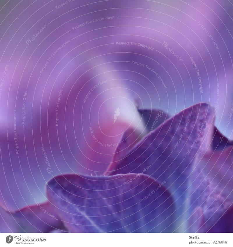 Hortensie Natur Pflanze Sommer Blüte Hortensienblüte Hydrangea Blütenblatt Gartenpflanzen Blühend violett Farbe Unschärfe sanft blau-lila Makroaufnahme Blauton
