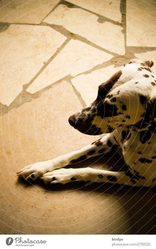 Abwarten Hund schön Tier ruhig Wärme liegen elegant ästhetisch Fell Vertrauen Wachsamkeit Langeweile Anschnitt beige Tierliebe