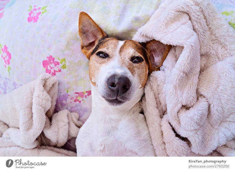 Niedliche verschlafene Schnauze eines Hundes, der auf die Kamera schaut. Lifestyle Glück Gesicht Spielen Winter Schlafzimmer Baby Erwachsene Tier Haustier