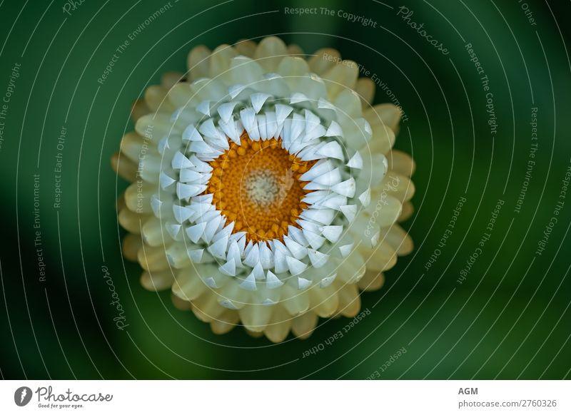 Strohblume Umwelt Natur Pflanze Sommer Blume Blüte Garten Blühend ästhetisch Fröhlichkeit schön nah rund stachelig trocken gelb grün weiß Frühlingsgefühle