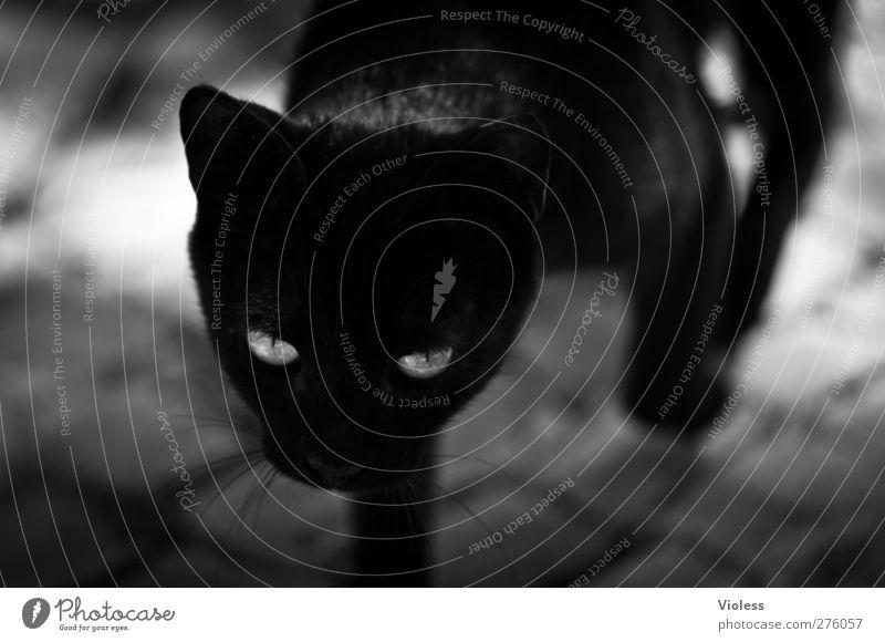 3 x schwarzer kater Tier Haustier Katze Tiergesicht Fell 1 ästhetisch elegant Tatkraft Wachsamkeit Konzentration schleichen Schwarzweißfoto Außenaufnahme