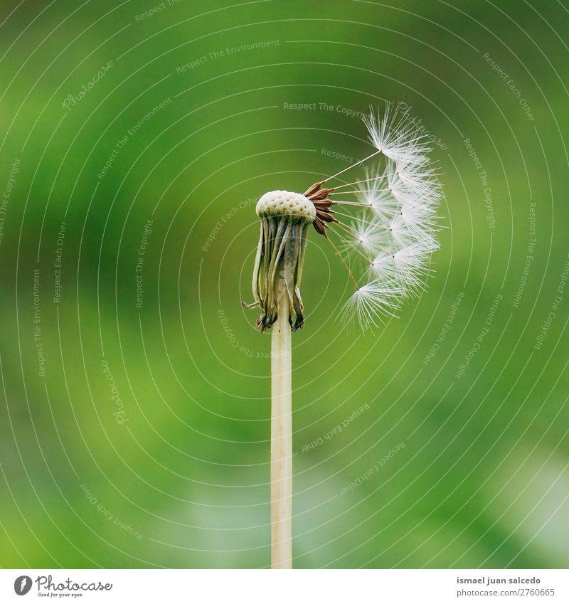 Löwenzahnblume Pflanze Blume Samen geblümt Garten Natur Dekoration & Verzierung abstrakt Konsistenz weich Außenaufnahme Hintergrund romantisch Zerbrechlichkeit
