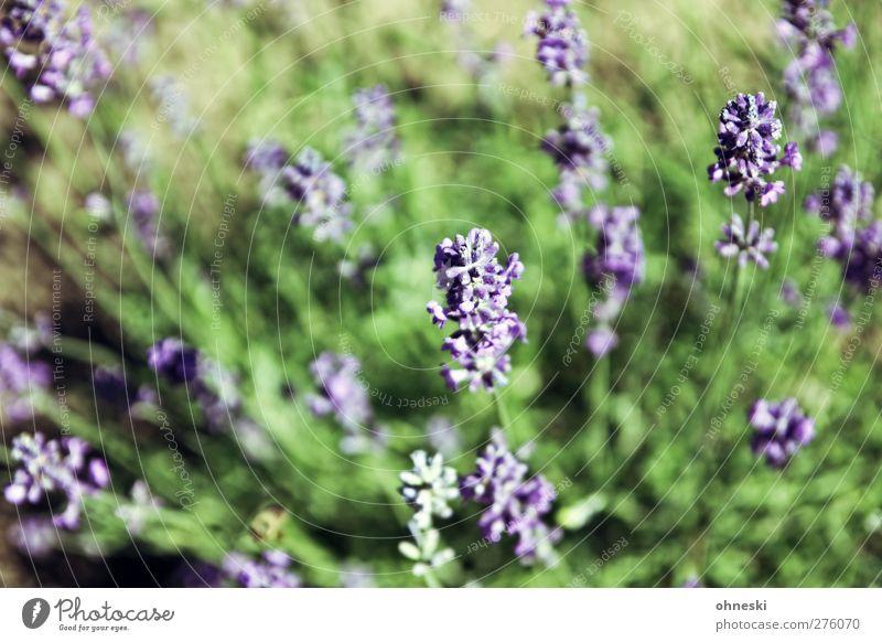 Von oben Natur Pflanze Blüte Garten violett Duft Lavendel
