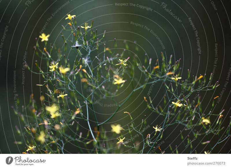 200 Naturmomente Pflanze Sommer Sträucher Wildpflanze Waldpflanze Zweig Blume Rainkohl Gemeiner Rainkohl Blühend Wachstum sportlich schön gelb grün Waldstimmung