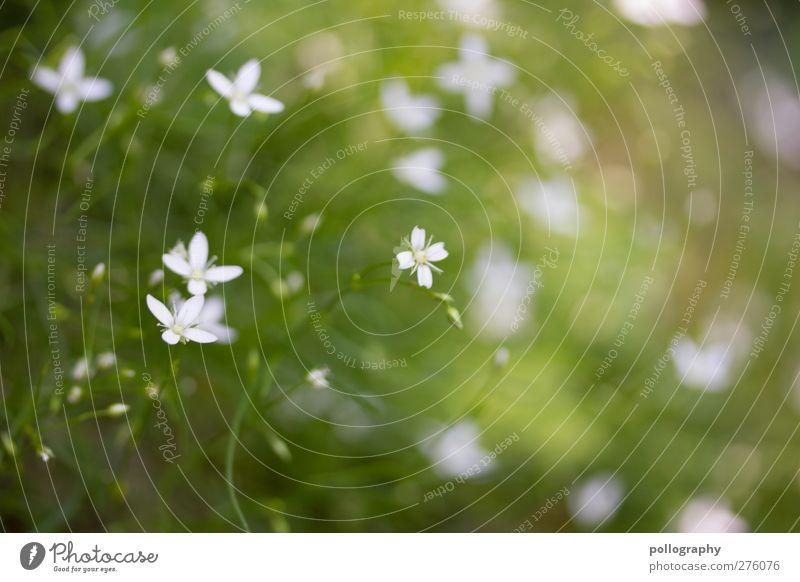Flower Power (IV) Umwelt Natur Pflanze Frühling Sommer Schönes Wetter Gras Sträucher Blatt Blüte Grünpflanze Garten Park Wiese Unschärfe verträumt Blühend Kreuz
