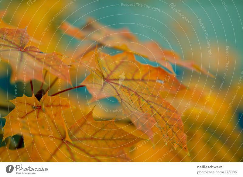 Ahornblätter Umwelt Natur Pflanze Herbst Baum Blatt Nutzpflanze Ahornzweig hängen blau gelb gold orange rot türkis Farbfoto Außenaufnahme Menschenleer Unschärfe