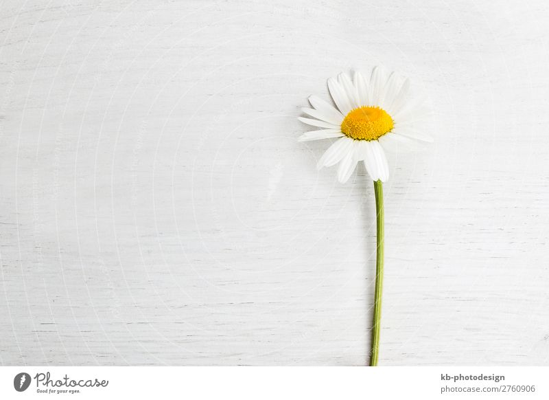 Marguerite on white background, spring concept Natur Pflanze Frühling Sommer Blume Margerite Blühend daisy copy space Flower Blossom Petals springtime Romance