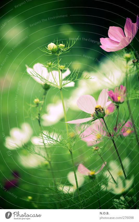 Sommer auf Erden Natur grün schön Pflanze Blume Wiese Glück Blüte Garten Park Gesundheit rosa natürlich frisch Fröhlichkeit