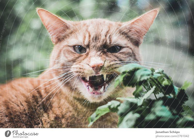 Katze faucht durch das Fenster Tier Neugier Kräuter & Gewürze Zähne Hauskatze Haustier Gebiss Appetit & Hunger Fensterscheibe Fensterblick Aggression verkatert