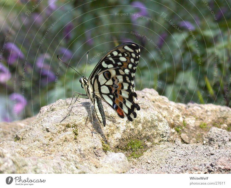 Schmetterling 2 Tier fliegen sitzen Flügel Schweiz flattern