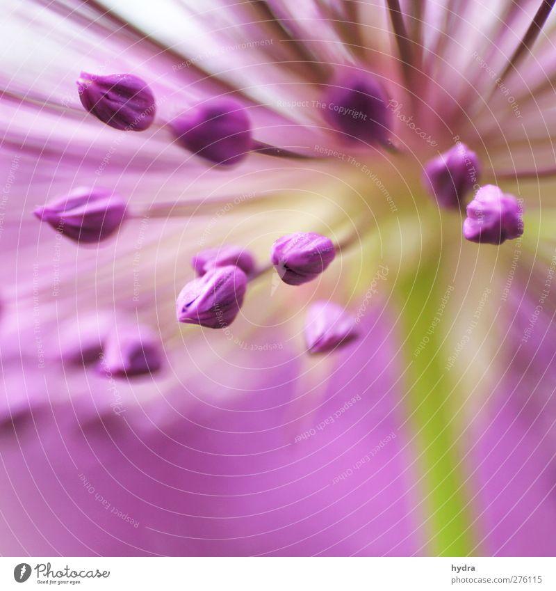 Zierlauch Torpedos Meditation Garten Blume Blüte Allium rosenbachianum Blumenschirm Liliengewächse liliacea Zwiebellauch Blühend ästhetisch Kitsch nah violett