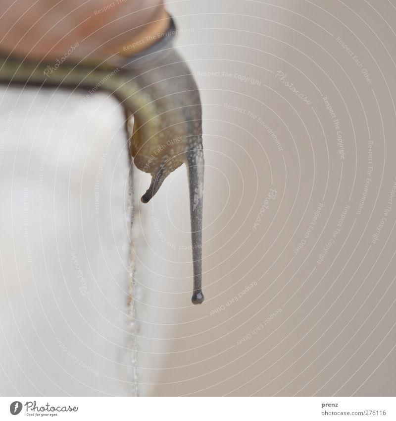 schneck Umwelt Natur Tier Wildtier Schnecke 1 braun grau Fühler Wand abwärts Farbfoto Außenaufnahme Menschenleer Tag Unschärfe Schwache Tiefenschärfe