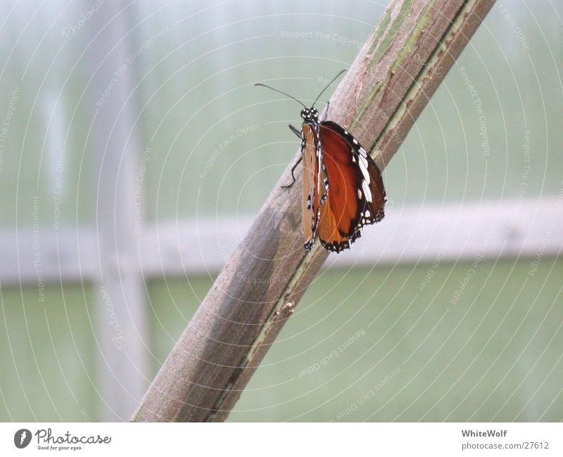 Schmetterling 1 schön Tier fliegen sitzen Flügel flattern
