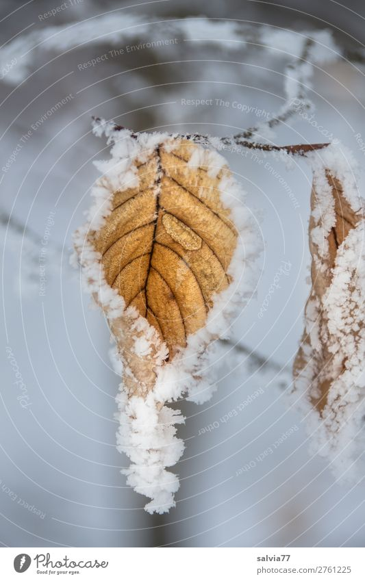 Blatt im Reifmantel Umwelt Natur Wasser Wassertropfen Winter Wetter Eis Frost Schnee Pflanze Zweige u. Äste Raureif ästhetisch kalt braun weiß ruhig